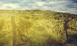 Wineyard landskap Arkivfoton