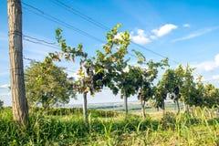 Wineyard med blå himmel Royaltyfri Foto