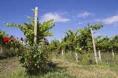 Wineyard mit Rosen Stockbild