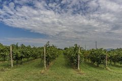 Wineyard green grape alley in Trento Italy. Wineyard with mountains as background in Trento Italy royalty free stock image