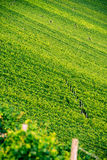 Wineyard near Volkach Royalty Free Stock Image