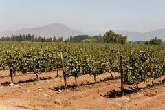 Wineyard nel Cile Immagini Stock Libere da Diritti