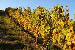 Wineyard no Chianti em Toscânia imagem de stock royalty free
