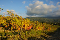 Wineyard no Chianti em Toscânia foto de stock
