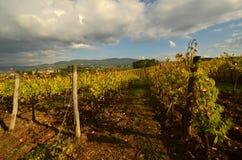 Wineyard no Chianti em Toscânia imagens de stock