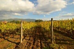 Wineyard no Chianti em Toscânia foto de stock royalty free