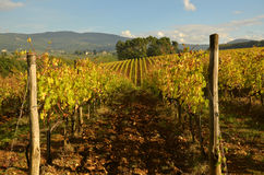 Wineyard no Chianti em Toscânia fotos de stock royalty free