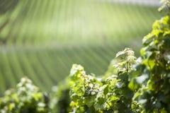 Wineyard no vale de Mosel fotos de stock