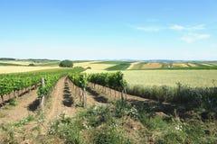 Wineyard och fält på den soliga dagen Arkivfoto