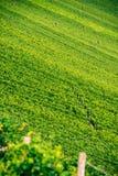 Wineyard perto de Volkach Imagem de Stock Royalty Free
