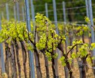 Wineyard in primavera Fotografia Stock