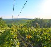 Wineyard przy wiosną Słońce raca Winnicy krajobraz Winnica wiosłuje przy Południowym Moravia, republika czech Zdjęcie Stock