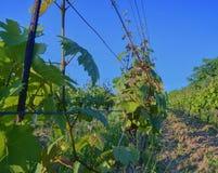 Wineyard przy wiosną Słońce raca Winnicy krajobraz Winnica wiosłuje przy Południowym Moravia, republika czech Zdjęcia Royalty Free