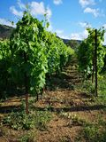 Wineyard. In the south of Italy, Calabria Stock Photo