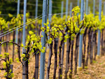 Wineyard in the spring. Countryside wineyard rows in the spring Stock Image