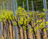 Wineyard in the spring. Countryside wineyard rows in the spring Stock Photography