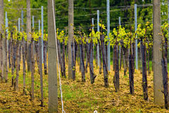 Wineyard in the spring. Countryside wineyard rows in the spring Stock Images