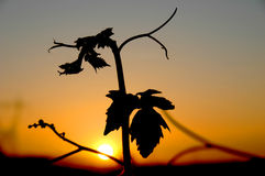 Wineyard at the sunset. Leaf of  a vineyard plant at the sunset Royalty Free Stock Image