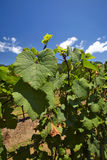 Wineyard in thailand. Grape leaves and blue sky in wineyard Stock Photos