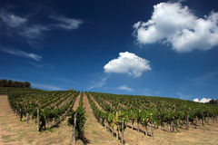 Wineyard toscan Images libres de droits