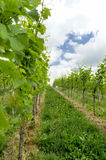 Wineyard. A traditional wineyard in the spring time Royalty Free Stock Image