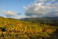Wineyard in tuscany Stock Images