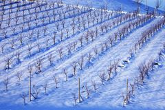 Wineyard under the snow. Wineyard of Lambruso wine in Castelvetro, under the snow royalty free stock photos