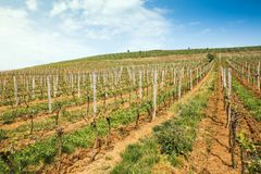 Rows of vines at vineyard in Western Ukraine stock photography