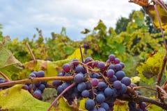 Wineyard y uva Fotografía de archivo