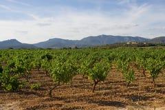 Wineyard, Zuid-Frankrijk Stock Afbeeldingen