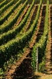 Wineyards在托斯卡纳在夏天, Chianti,意大利 库存图片