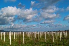 Wineyards in autumn Stock Photos