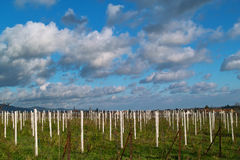Wineyards in autunno Fotografie Stock