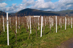 Wineyards in de herfst Royalty-vrije Stock Afbeelding