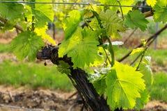 Wineyards in de lente stock fotografie
