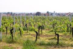 Wineyards in de lente stock foto