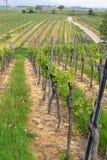 Wineyards in de lente stock afbeelding