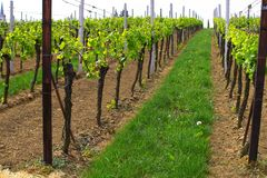 Wineyards in de lente royalty-vrije stock fotografie