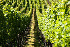 Wineyards In Early Summer Royalty Free Stock Photo