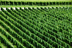 Wineyards In Early Summer Stock Image