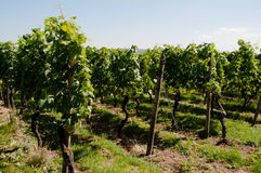 Wineyards In Early Summer Stock Photography