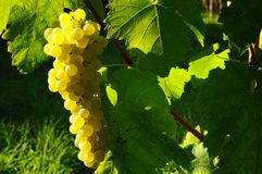 Wineyards en Toscane, chianti, Italie images libres de droits