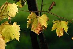 Wineyards en Toscane, chianti, Italie images stock