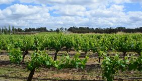 Wineyards. Hunter Valley. New South Wales. Australia. The Hunter Region, or Hunter Valley, is a region of New South Wales, Australia, most commonly known for its royalty free stock photography