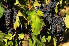 Wineyards i Tuscany, Chianti, Italien Fotografering för Bildbyråer