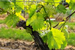 Wineyards im Frühjahr Stockfotografie