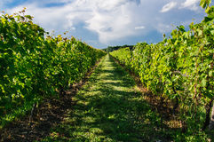 Wineyards Royalty Free Stock Photos