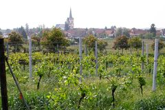 Wineyards in primavera fotografie stock