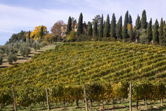 Wineyards rows Royalty Free Stock Photo