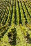Wineyards rows Royalty Free Stock Images